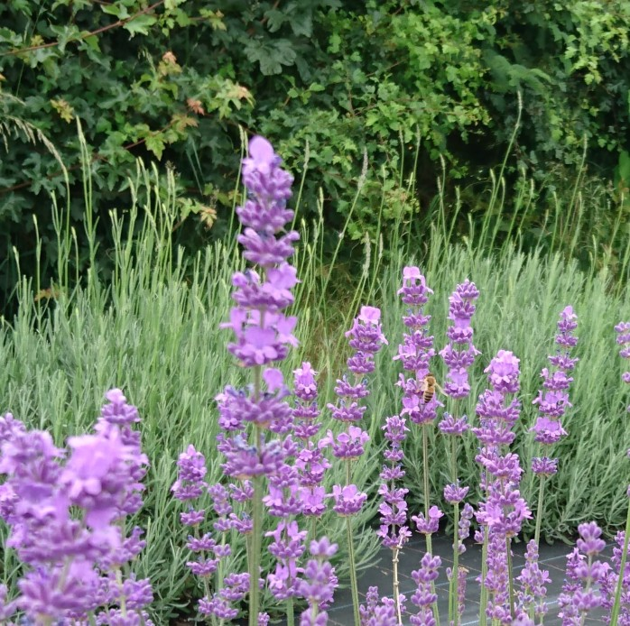 Close up of lavender and bee