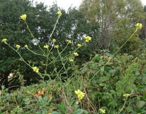 yellow flowers against brambles