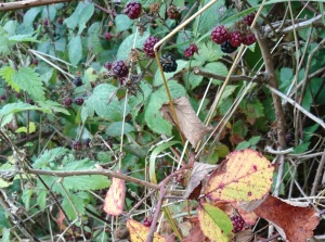 close up of blackberries with yellow and brown leaves