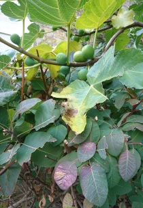 figs growing and leaves turning red