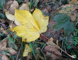yellow leaf amongst brown leave son ground